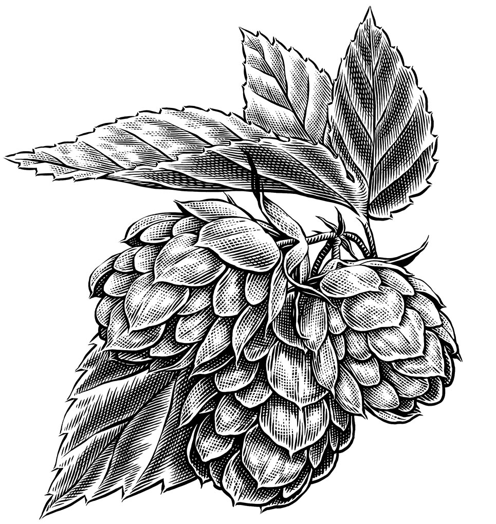 Keith Ward detailed line engraving illustration of Hops