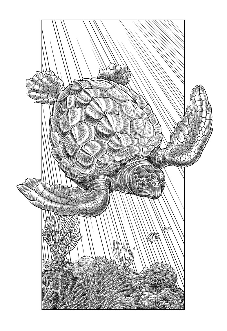 Line art illustration by Keith Ward of loggerhead turtle for SarasotaVisCenter