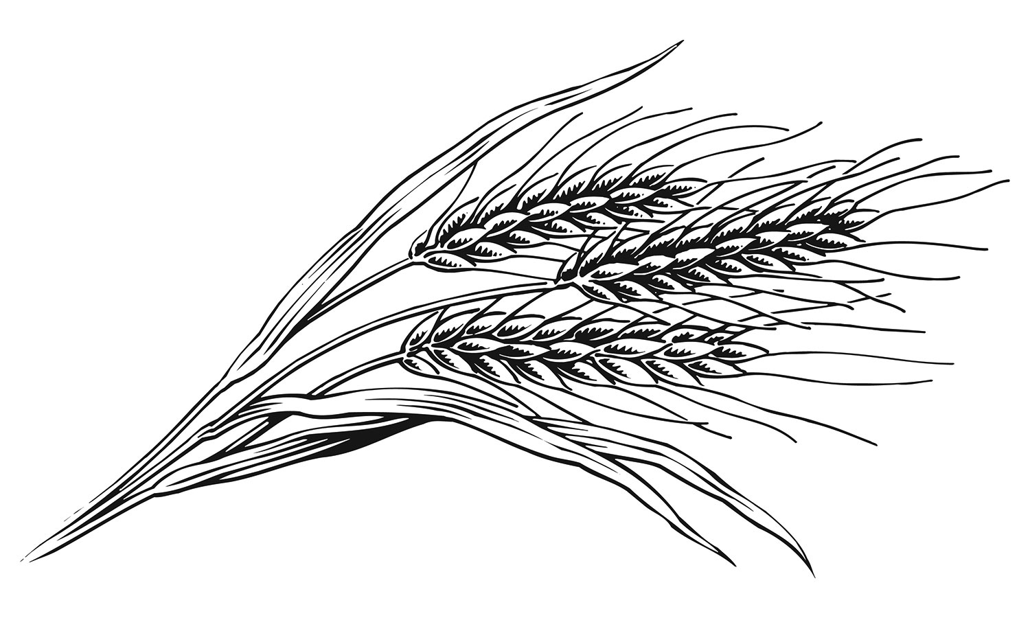 Keith Ward detailed line Illustration of Wheat on the stalk